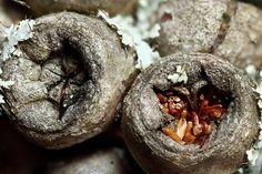 Macro image of Callistemon seed pods.
