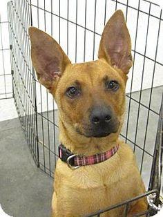 Crowley, LA - Basenji/German Shepherd Dog Mix. Meet Molly, a dog for adoption. http://www.adoptapet.com/pet/11451870-crowley-louisiana-basenji-mix