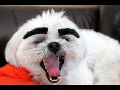 Dogs With Eyebrows Video #dogswitheyebrows #shihtzu #shichon #bichon