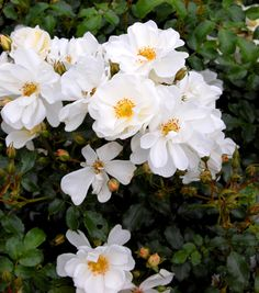 Rosen 'Diamant'   En marktäckande buskros som växer lågt och utbrett. Höjden blir bara kring 50-60 cm medan bredden kan bli över 1 m. Bladen är glänsande och friska. Blomningen är riklig och kontinuerlig. De kritvita blommorna är relativt stora medan knopparna är rosa. Om man inte tar bort vissna blommor bildas talrikt med nypon som får en vacker orangeröd färg. 'Diamant' är en av de bästa marktäckande rosorna för zonerna 1-3 ev. 4 med god vintertäckning.