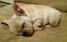 Those Smooshy wrinkles! French Bulldog