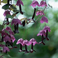 8 Seeds w/Instructions (seeds are small) This exotic mexican native plant has pendant tubular deep maroon flowers, on red-purple calyces and heart- Purple, Rare Flowers, Creepers Plants, Purple Garden, Unusual Flowers, Vines, Plants Online, Flowers, Plant Life