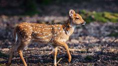 HD Widescreen Wallpaper - deer