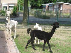 Alpaca's zijn weer geschoren en kunnen weer heerlijk rennen in de grote weide.
