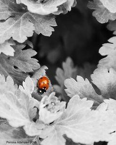 . . . #ladybug #bw #blackandwhite #blackandred #red #bug