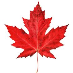 The maple leaf is currently used on the Canadian flag, logos of various… Red Leaves, Autumn Leaves, Maple Leaf Tattoos, Lovers Images, Leaf Drawing, Ancient Symbols, Love Symbols, Leaf Design, Bunt