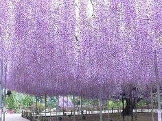 Amazing scenery of Japanese wisteria in Ashikaga, Tochigi pref.