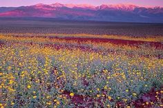 Marveling at the Super Bloom: Amy Ephron Visits Death Valley