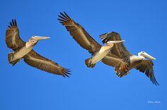 Brown Pelicans In Flight by Debra Martz Photo taken from the beach on North Padre Island, TX