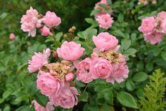 Fairy ruusu kukkii kiitettävästi, 1. kesä menossa vasta.