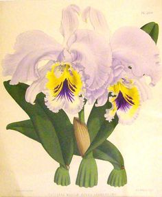 Orchid  Absolutely, lovely, Charmaine Zoe
