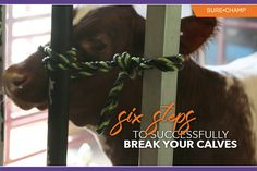 6 Steps to Successfully Break Your Calves - Sure Champ Baby Cows, Baby Elephants, Giraffes, Rabbit Shed, Show Steers, Show Cows, Taking Care Of Baby, Raising Cattle, Cute Baby Animals