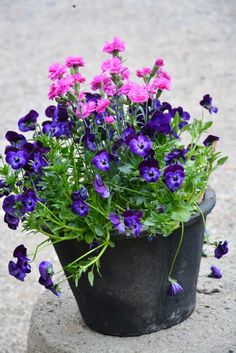 spring container planting with dianthus and violas