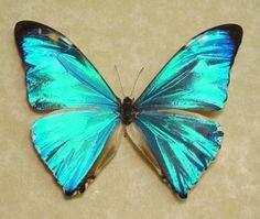 Morpho Aurora / 蝶 チョウ is this real? Butterfly Tree, Morpho Butterfly, Butterfly Kisses, Butterfly Design, Blue Butterfly, Butterfly Photos, Butterfly Painting, Morpho Azul, Blue Morpho