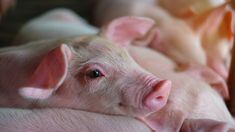 Iowa Senator's Pig Farm Under Fire Due to Inhumane Treatment of Animals - One Green PlanetOne Green Planet Iowa, Animals And Pets, Cute Animals, Horror Pictures, Horror Pics, Animal Rights Groups, Pig Farming, Plant Based Nutrition, Lovely Creatures