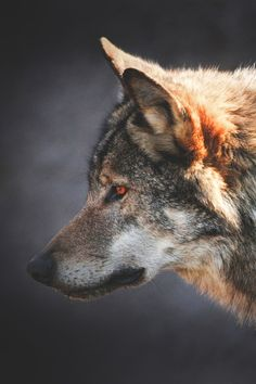 Superior Luxury — lsleofskye:   European wolf