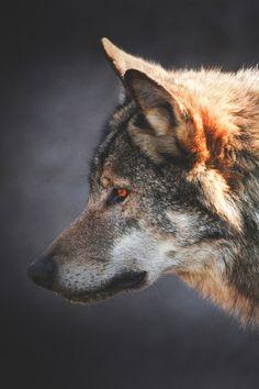 Superior Luxury — lsleofskye: European wolf