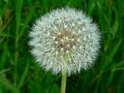 """Idea for wedding reception--pick a bunch of these dandelions, put them in a decorative jar with a label that says """"It's a dream come true"""" or """"Make a wish"""" set one jar at each table for the guests. Kids will love them also! Great for fairytale themed wedding."""
