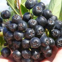 Aronia berry - How to grow & care Baked Vegetables, Fruits And Vegetables, Aronia Melanocarpa, Cabbage Juice, Raw Protein, Potato Juice, Vegetable Snacks, Native Foods, Canned Meat