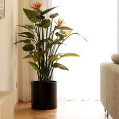 5 Ft Strelizia Bird Of Paradise Indoor Plant