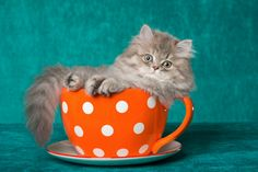 A Persian kitten in a teacup? So cute! A teacup Persian produced by a kitten mill? Not so much.   photo by Shutterstock