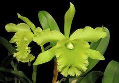 Rhyncholaeliocattleya Ports of Paradise 'Emerald Isle'  (Rhyncholaeliocattleya Fortune x Rhyncholaelia digbyana)