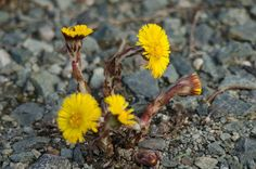 Tussilago Farfara (Common Colt's Foot) by Lars-Toralf Utnes Storstrand