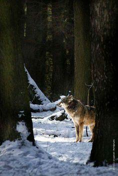 ~ LONE WOLF ~