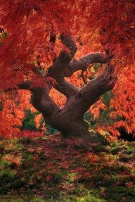 Dragon tree Japanese maple) at the Portland Japanese Garden in Oregon. ~ Ray & I have visited the Portland Rose Garden, but haven't seen the Japanese one yet. All Nature, Amazing Nature, Nature Tree, Nature Pics, Beautiful World, Beautiful Places, Beautiful Dragon, Stunningly Beautiful, Beautiful Scenery