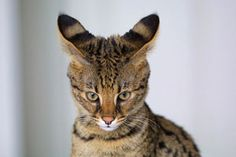 Savannah Cat - In April 1986 Judee Frank, a Bengal breeder, crossbred a male Serval with a Siamese cat. The Serval belonged to Suzi Woods. The result was the first Savannah cat, aptly named Savannah. Rare Cats, Exotic Cats, Cats And Kittens, Bengal Kittens, Tabby Cats, Gatos Serval, Serval Cats, Gatos Cat, African Wild Cat