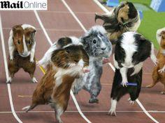 Fofura do dia: Imagine como seria uma Olimpíada de porquinhos-da-índia... eles estamparam um calendário e já viraram paixão; veja! http://r7.com/NWHx