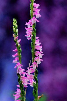 ねじばな (捩花) /Spiranthes sinensis var.amoena