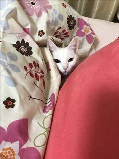 Cats, Animals, Gatos, Animales, Kitty Cats, Animaux, Animal Memes, Cat Breeds, Kitty