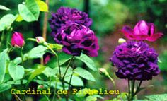 Origin:1840 Laffay.  Hybrid: Gallica  Growth Pattern: Very-double, cupped flowers open into deep purplish crimson.  Hardy to zone 4  Blooms once in June for three -four weeks  Moderate Fragrance:  Bush is semi-vigorous growing about 4' x 4'. Foliage medium green and healthy.