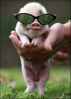 Mr. cool piggie