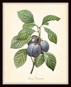 Antique Plum Redoute Botanical Art Print 8 x 10 by BelleBotanica, $10.00