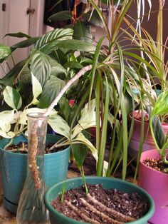 how to take cuttings from a dracaena plant