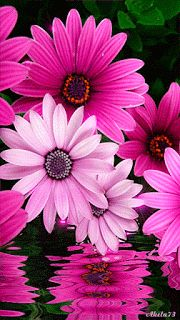 The perfect PinkFlowersOnWater Flower Daisy Animated GIF for your conversation. Flowers Gif, My Flower, Flower Art, Pink Flowers, Flower Power, Beautiful Flowers, Flower Wallpaper, Belle Photo, Flower Arrangements