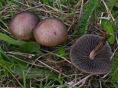 Image result for Panaeolus fimicola uk Slime Mould, Mushroom Fungi, Stuffed Mushrooms, Image, Fungi, Mushrooms, Flowers, Stuff Mushrooms