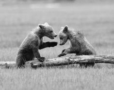 Fine b and w animal photo. Grizzly Bear Cub, Bear Cubs, Baby Bears, Wildlife Photography, Animal Photography, Funny Babies, Cute Babies, Elephant Black And White, Black White