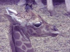 Zoo Aquarium comienza la Semana Santa con el nacimiento de una jirafa