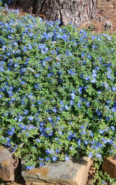 blue daze - amazing blue flowering ground cover - drought resistant, full sun, blooms april-november