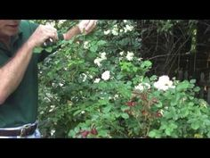 In this series of videos I take you through a year in my rose garden. In this episode we meet my Old Beauties, learn a bit about deadheading and stop and sme. Deadheading, Fine Gardening, Roses, Seasons, Landscape, Green, Youtube, Flowers, Plants