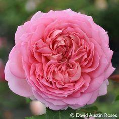 Pflanzen-Kölle Englische Rose 'Jubilee Celebration' (Aushunter) David Austin.  Wunderschöne Englische Rose mit rosa-aprikotfarbenen Blüten und herrlich-fruchtigem Rosenduft.