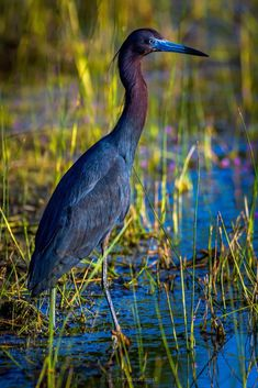 Little Blue Heron, Chincoteague, VA Pretty Birds, Beautiful Birds, Animals Beautiful, Aigle Animal, World Birds, Curious Creatures, Rare Birds, Foto Art, Blue Heron