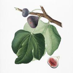 Black Fig (Ficus carica) from Pomona Italiana (1817 - 1839) by Giorgio Gallesio (1772-1839).   premium image by rawpixel.com