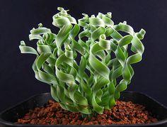 Gethyllis sp. ゲチリス ヒガンバナ科ゲチリス属