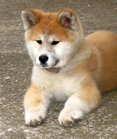 japanese akita puppies wallpapers