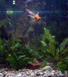 Delicious Kent Marine Betta Bowl Essential 2oz Cleaning & Maintenance Fish & Aquariums