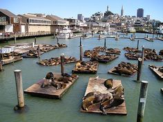 Fisherman's Wharf, Pier #39, home to hundreds of seals - a real San Francisco tourist attraction.